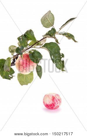 Apple on a tree branch isolated on white background
