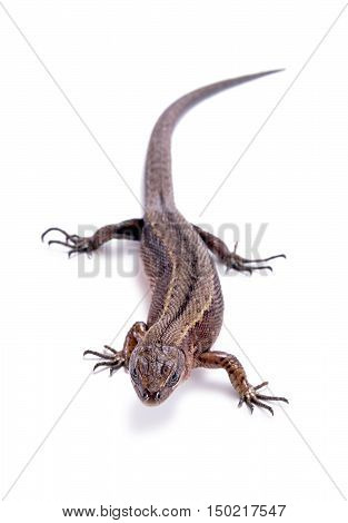 Animal lizard it is isolated on a white background