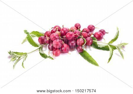 Blooming sprig of mint and berries of gooseberry isolated on white background