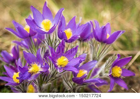 Bush forest wild pasque-purple flower(Pulsatilla vulgaris) close up