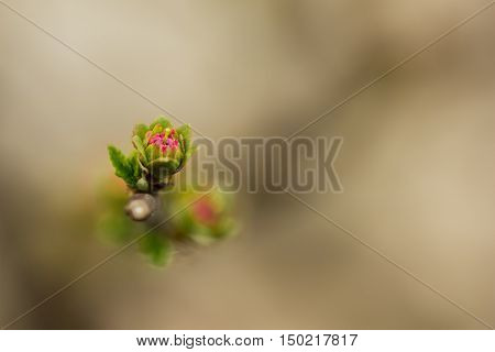 A burgeoning small almond flower on branch