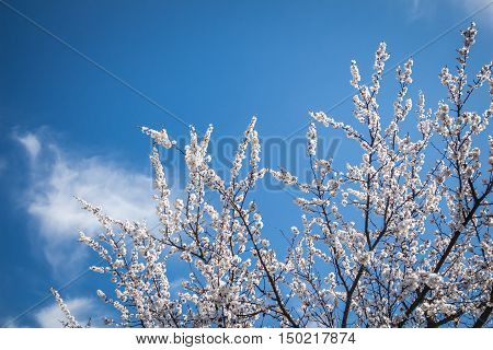 Part of blossoming apricot(Prunus armeniaca) tree with branches covered with little white flowers on a background of blue sky