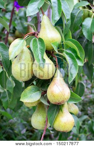 Several large green pears on a branch with leaves closeup