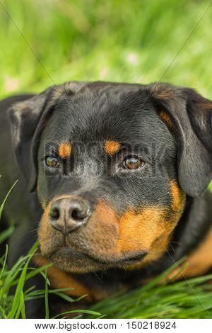 Close-up portrait puppy Rottweiler dog on the grass