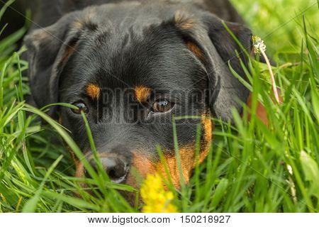 Beautiful Rottweiler puppy dog among green grass portrait