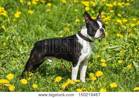 Beautiful dog breed Boston Terrier standing in green grass outdoors