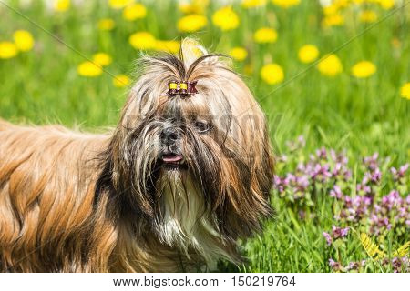 Portrait of a Shih Tzu dog outdoors in the green grass