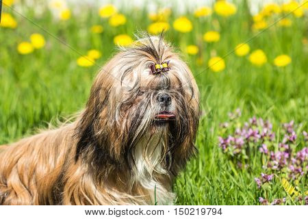 Beautiful Shih Tzu dog with his tongue hanging out against a background of green grass