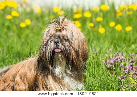 Young dog breed Shih Tzu sitting in a field of green grass outdoors