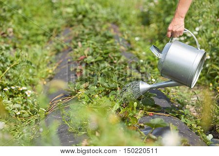 Close-up of woman's hand holding metal watering can and watering strawberry plants. Gardening concept.