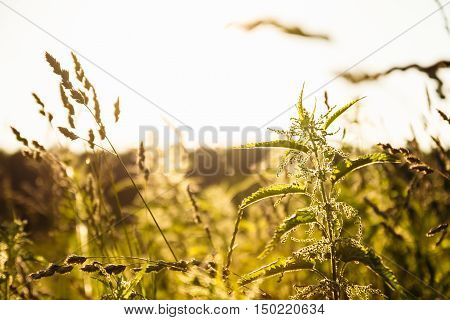Nettle Plant Stalk On A Background Of A Different Field Grass And Sunset Backlight
