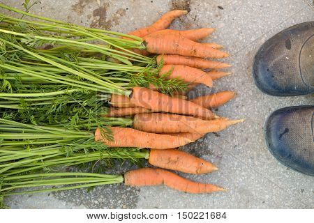Top view on bunch of freshly picked organic carrots and farmer's shoes on concrete background. Garden harvest. Healthy food concept.