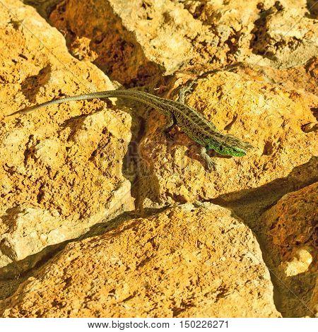 Green lizard (Lacerta viridis) basking in the sun.