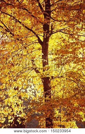 golden fall colors of aspen tree by bright sunny evening