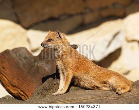 Yellow mongoose on sentry - Cynictis penicillata