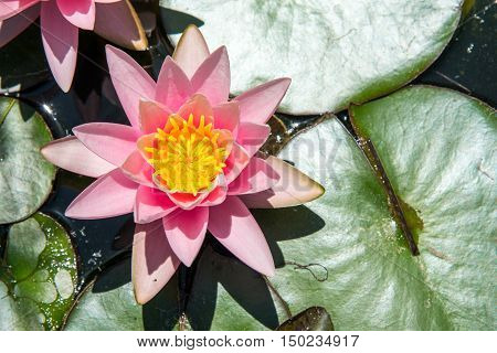 A pink waterlily seen in a small pond