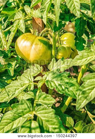 three ripening green tomatoes in the garden closeup
