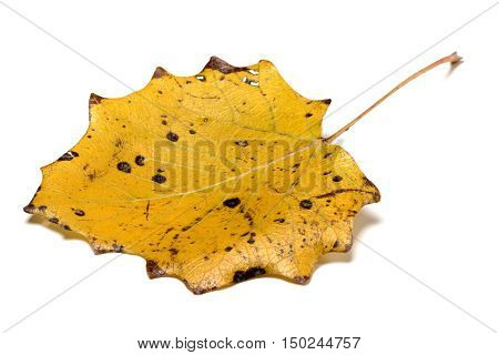 Autumn Yellow Quaking Aspen Leaf