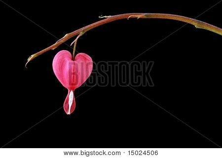 Single bleeding heart flower hanging from stem isolated against black background. Concept - loneliness.