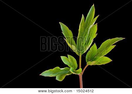 Fresh young leaves isolated against black background with copy space.