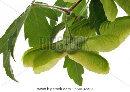 Winged seed pods and leaves from a paperbark maple tree.  Isolated on white.