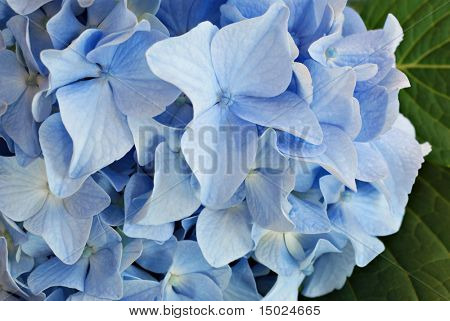 Soft blue Hydrangea blossom with leaves in background.  Macro with shallow dof