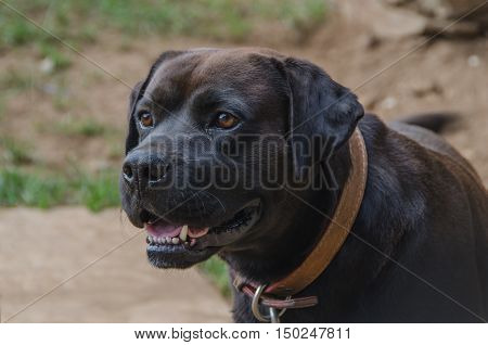 Dog On A Leather Strap
