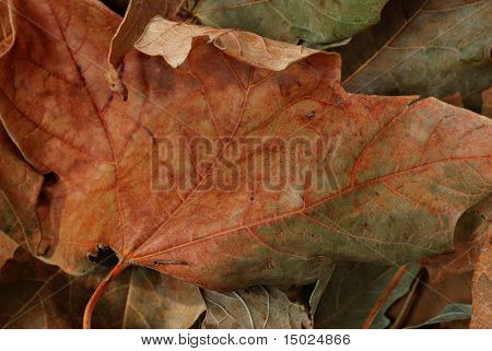 Dried autumn leaves in muted colors.  Macro with shallow dof.  Ideal as background.