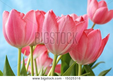 Beautiful pink tulips with blue sky background.  Shallow dof with selective focus on closest tulip.