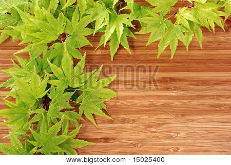 Young Japanese maple leaves with raindrops on bamboo background.  Macro with copy space.