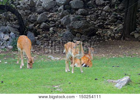Fallow deer during the rutting season in Italy