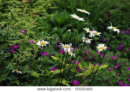 White daisies in garden with ferns and purple flowers in the background.  Close-up with shallow dof.  Selective focus on closest daisy.
