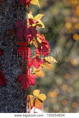 Virginia creeper with red leafs climbing upp a trees during the autumn