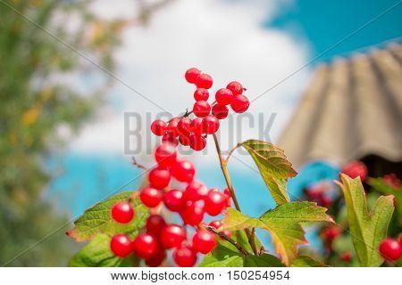 Red Berries Cluster Of Viburnum On Blue Sky Background