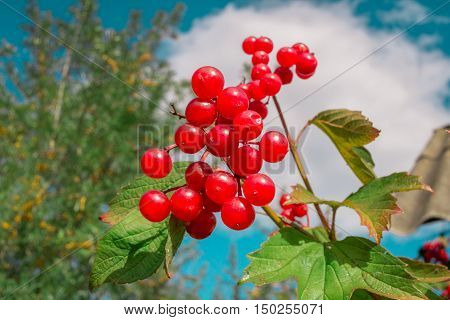 Red Berries Clusters Of Guelder Rose Bush In Garden