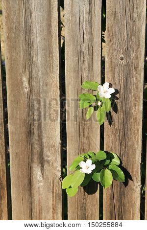 May flowering quince. Wooden background. Fruit tree.