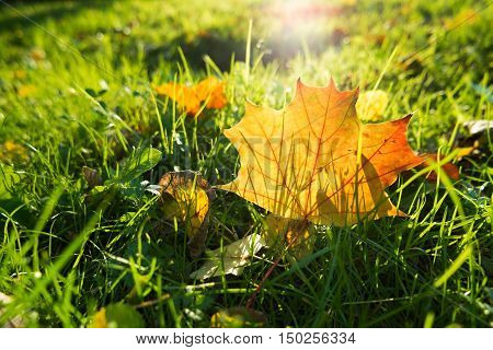 Natural background with green grass and yellow leaves. Autumn lawn with fallen-down foliage. Bright maple leaf.