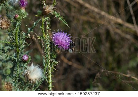Bumblebee flying near prickly purple flower and collects nectar.