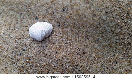 White sea shell laying on the sand.