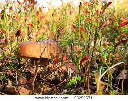 beautiful big cep in the autumn forest