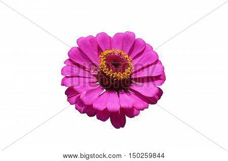 Elegant zinnia pink flower close up isolated on white.