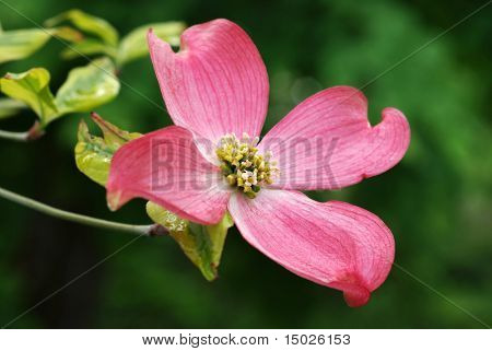 Beautiful pink dogwood blossom. Macro with extremely shallow dof.  Selective focus on center of flower.