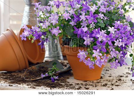 Tiny 'campanula get mee' (or bellflowers) in clay starter pots with spade and watering can.  Gardening still life with natural window light and shallow dof.