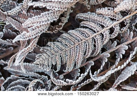 Dry fern leaves are covered with morning frost. Beauty in nature