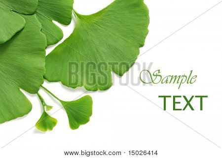 Ginkgo leaves on white background with copy space.  Natural shadows.