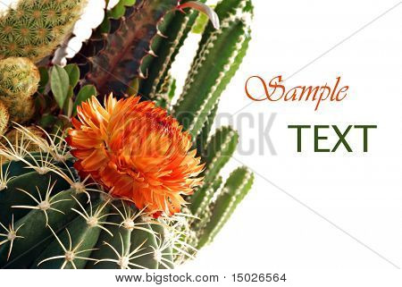 Mini cactus garden on white background with copy space.  Macro with shallow dof.