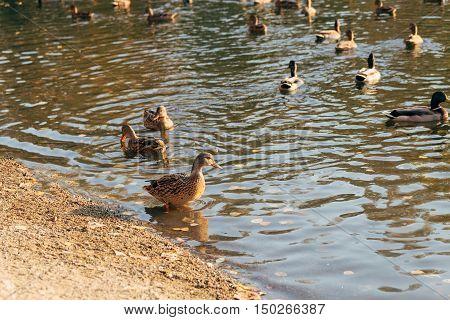 some ducks walking in water of lake