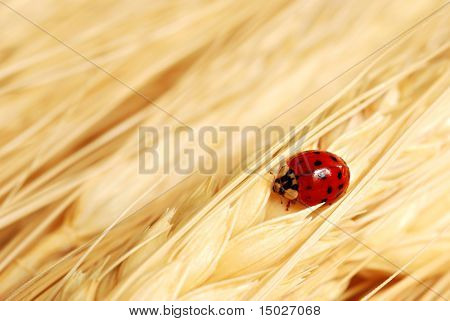 Asian ladybug on golden wheat.  Macro with shallow dof and copy space.