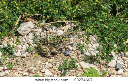 green camouflaged frog sitting among grass and rock in summer time