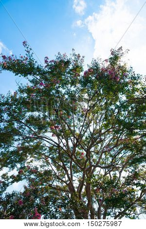 Canopy of a great Crape myrtle tree (Lagerstroemia indica, also known as crepe myrtle, crepeflower) in bloom.